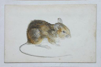Long tailed field mouse (also known as a wood mouse)  Camfield 1886